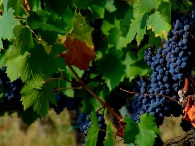 Immagine articolo: Vendemmia verde, destinati oltre 15 Milioni di Euro per gli agricoltori siciliani. Pronta la graduatoria